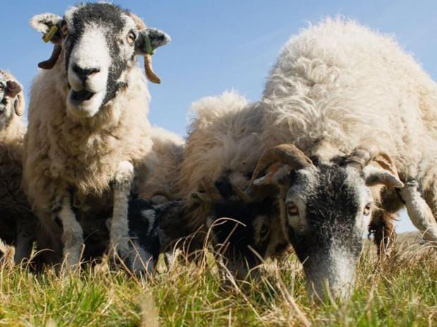 23-Lambs-Getty.jpg