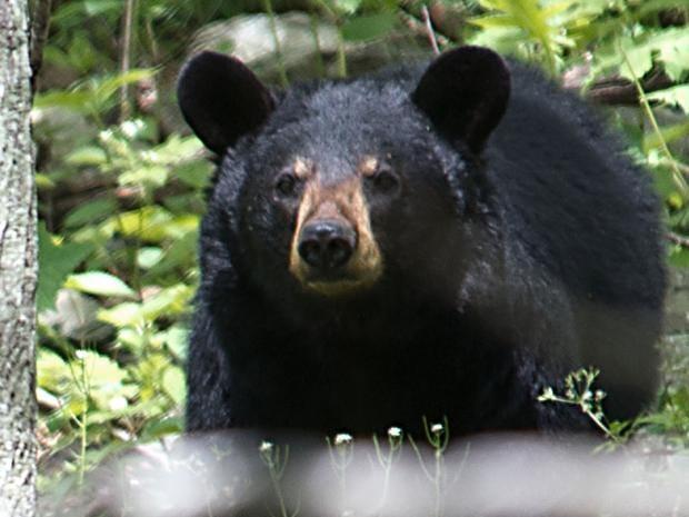 black-bear-getty.jpg