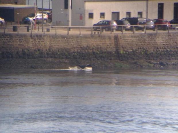 Cow-in-Aberdeen-harbour.jpg