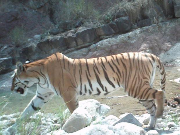 nepal-tiger.jpg