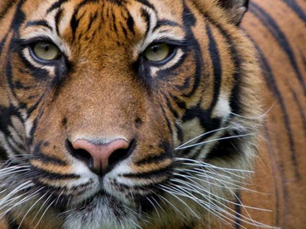 tiger7.jpg