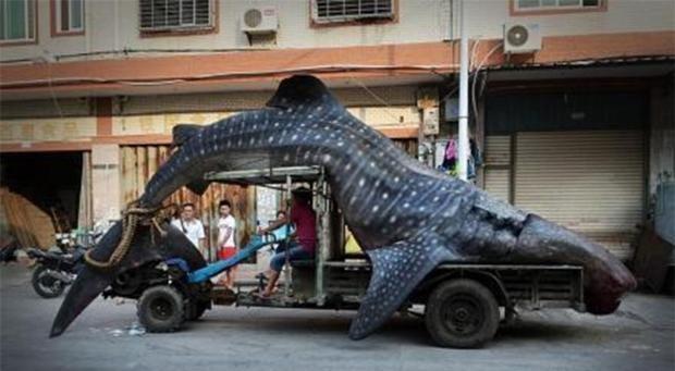 whale-shark-weibo-2.jpg