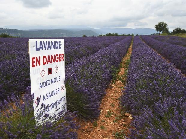25-Lavender-AFP-Getty.jpg