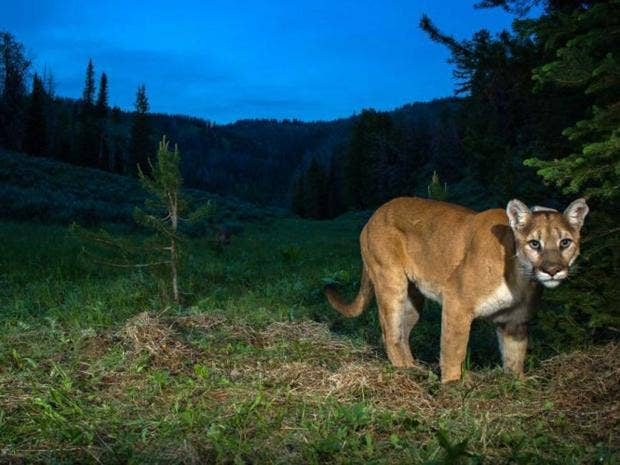 cougar-getty.jpg