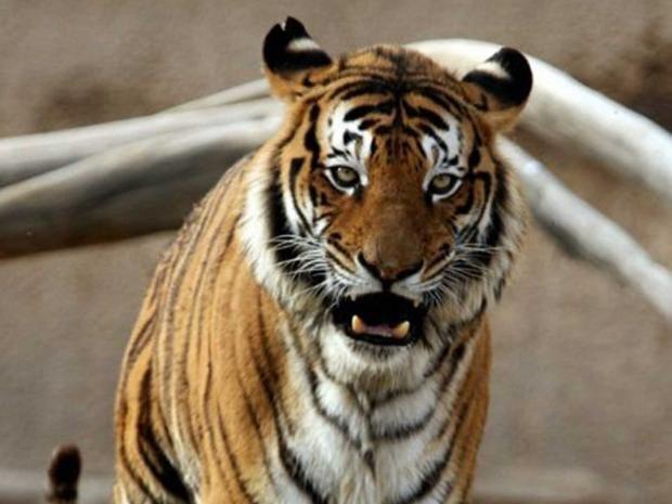 bengal-tiger-afp.jpg