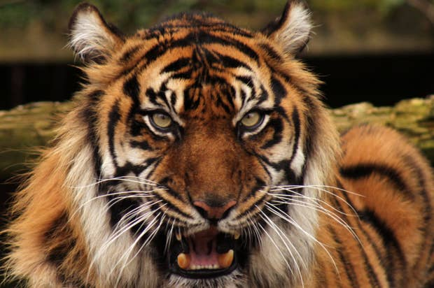 tiger.jpg].png