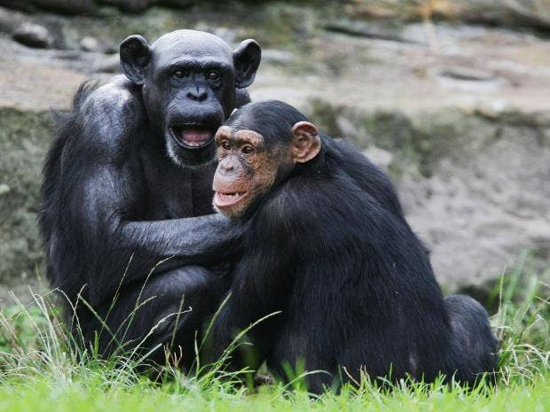 Chimps and humans are ...