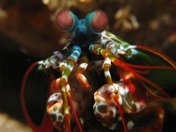 mantis shrimp.jpg