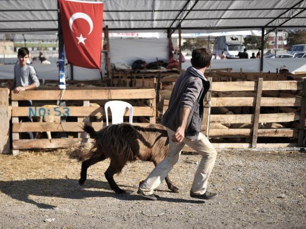 Turkey-goat.jpg