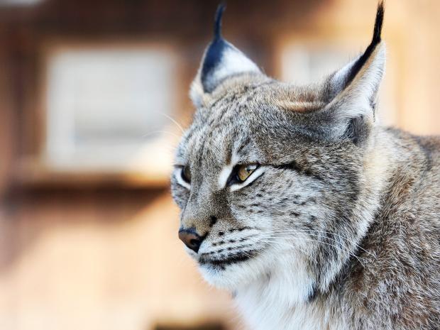 web-lynx-getty.jpg