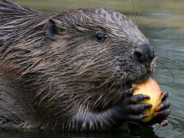 web-beaver-pa.jpg