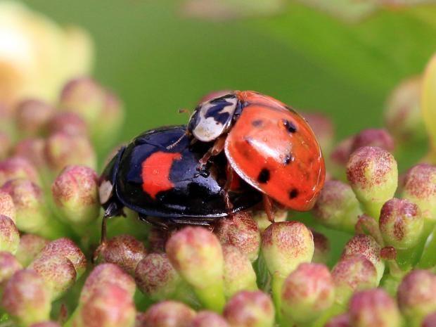 Harlequin-ladybird.jpg