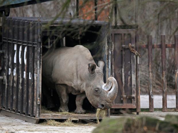 Northern_white_rhino.jpg