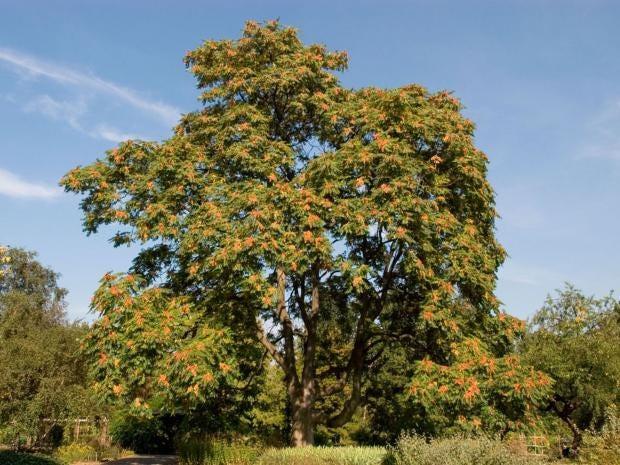 15-TreeOfHeaven-Alamy.jpg