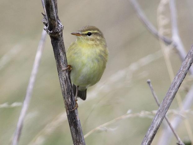 Willow_Warbler_bird.jpg