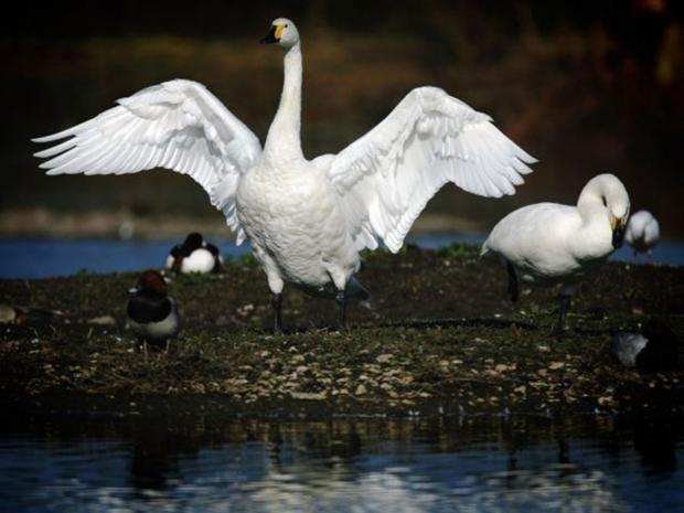 12-Swan-Getty.jpg