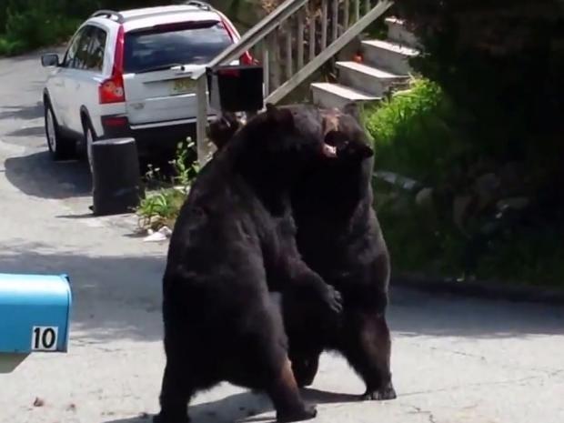 Bear-fight.jpg
