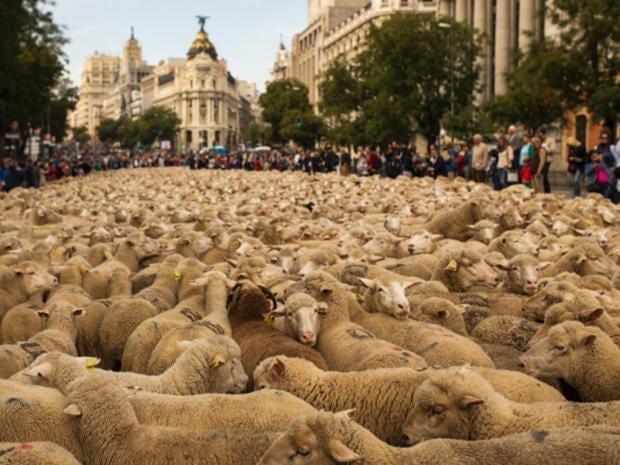 SSpain-sheep.jpg