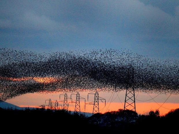 starlings-2.jpg