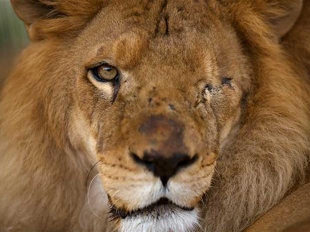 lion5-ap.jpg