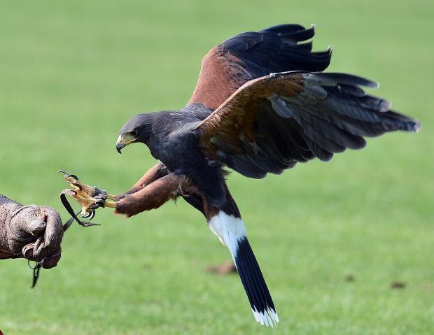 falconry.jpg