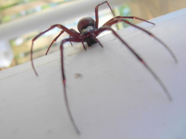 A false widow spider REX Kazam Media The Independent