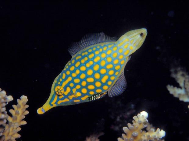 web-harlequin-fish-alamy.png
