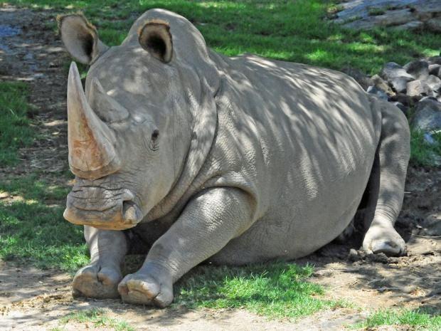 angalifu-northern-white-rhino.jpg