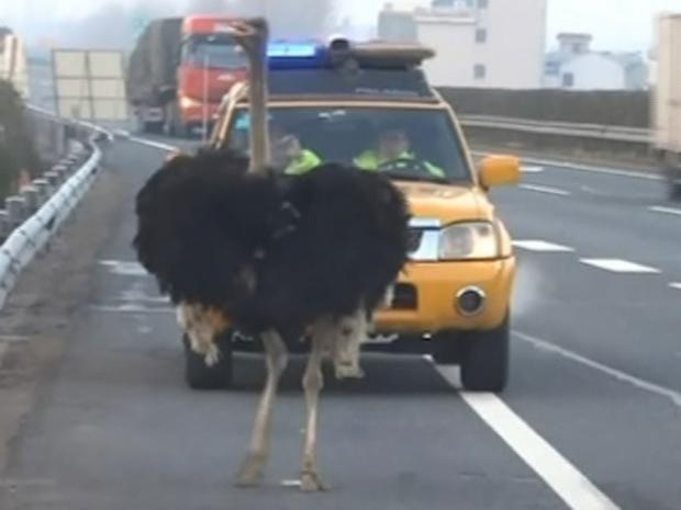 Ostrich-rogue.jpg