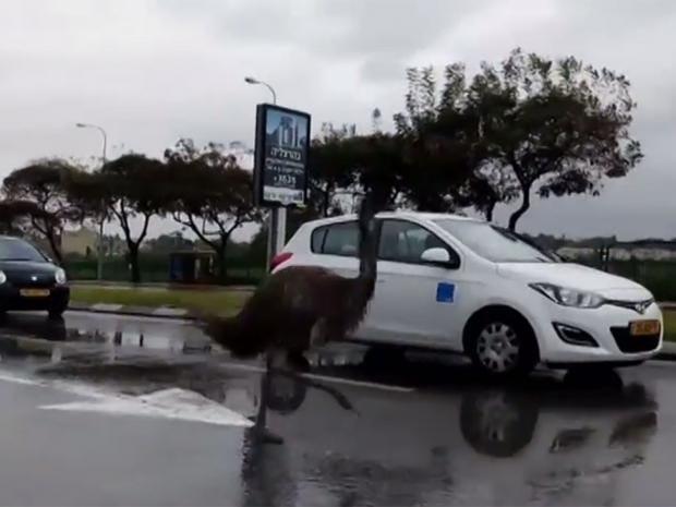 Emu-in-Isrrael.jpg