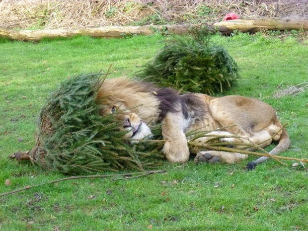 Zuri, African Lion playing with his Christmas Trees (8).JPG