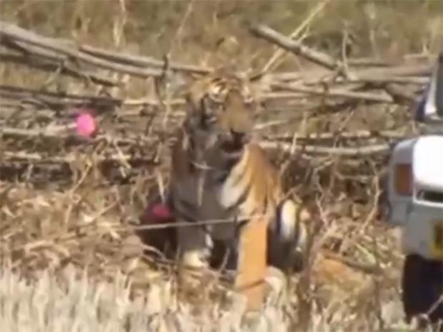 Tiger-trapped.jpg