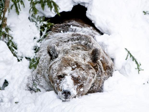 web-hibernating-bear-getty.jpg