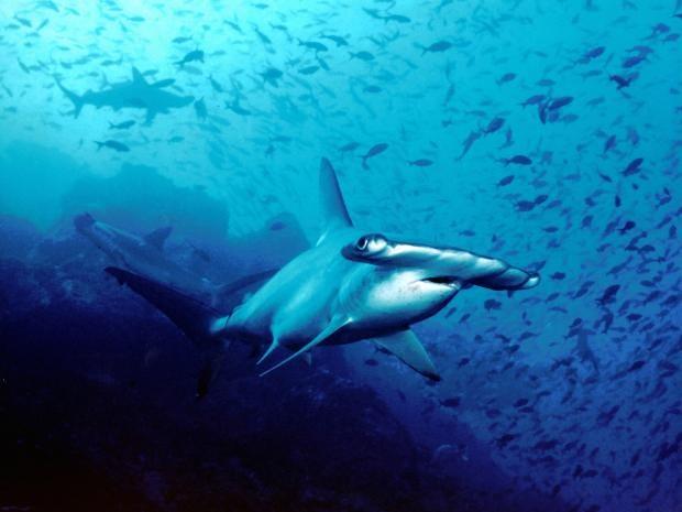 Hammerhead_shark,_Cocos_Island,_Costa_Rica.jpg