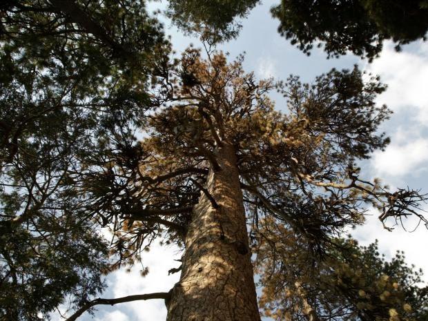 Ponderosa-pines.jpg