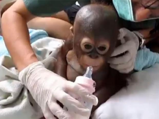 Orangutan-Budi.jpg