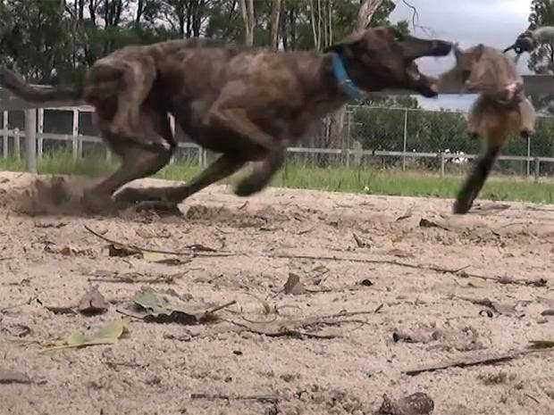 web-australia-greyhounds-1.jpg