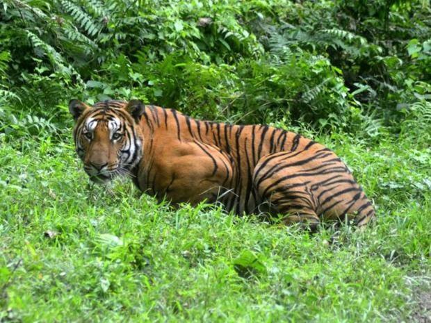 11-Tiger-Getty.jpg