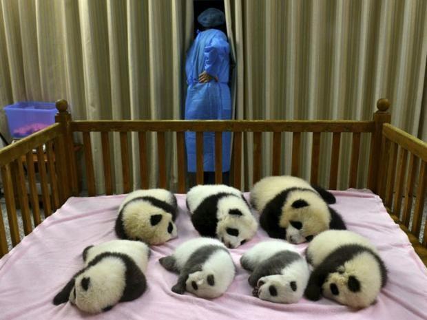 34-Baby-Pandas-AP.jpg