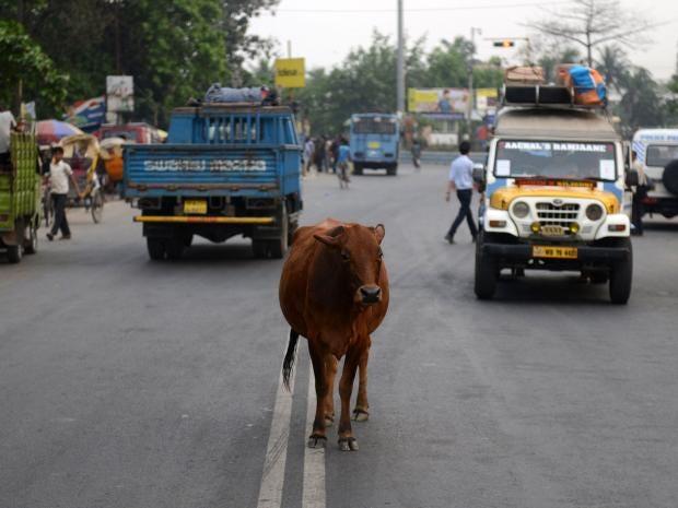 India-cow.jpg