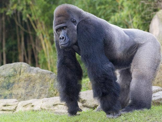 What does a gorilla penis look like