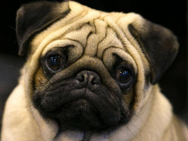 Cute-Pug.jpg