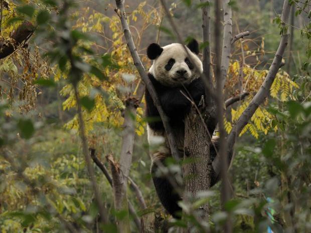 panda-afp.jpg