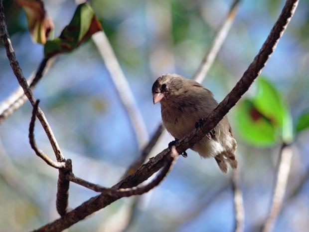 14-Mangrove-Finch-Corbis.jpg