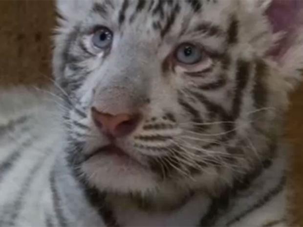 Tiger-White.jpg