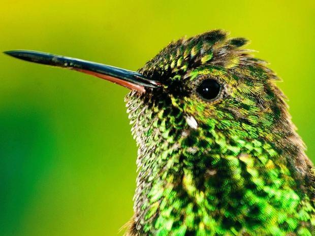 hummingbird-alamy.jpg