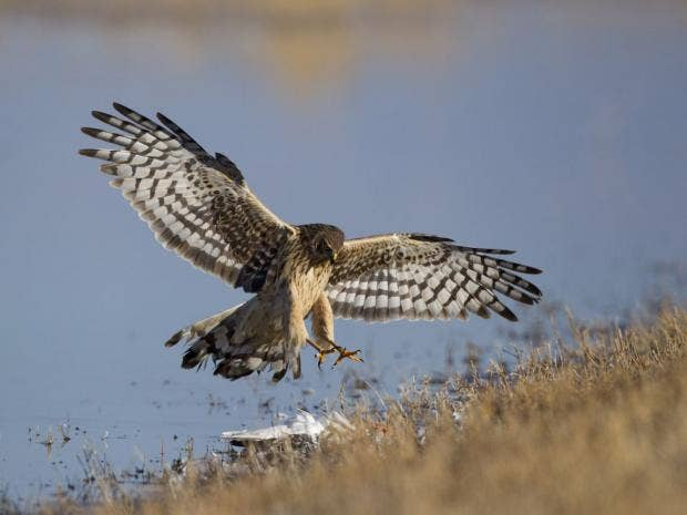 27-Northern-Harrier-Rex.jpg