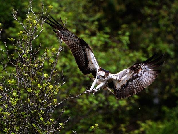web-osprey-getty.jpg