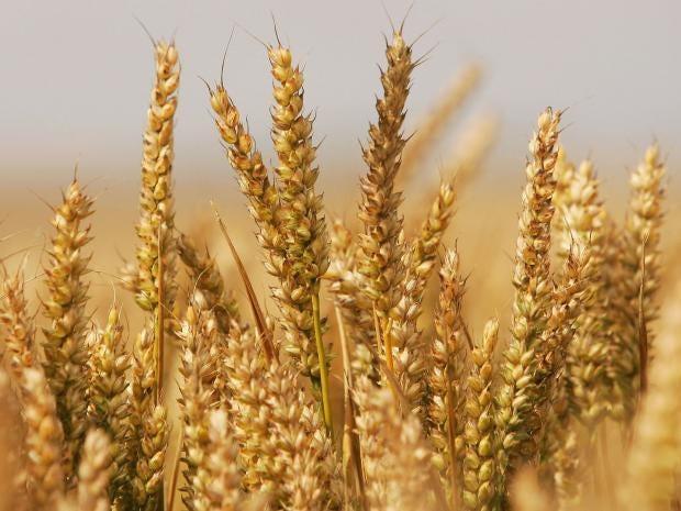pg-16-wheat-crop-getty.jpg