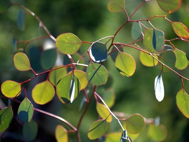 web-eucalyptus-trees-getty.jpg